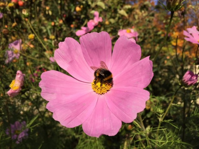 Bumble bee on mallow flower