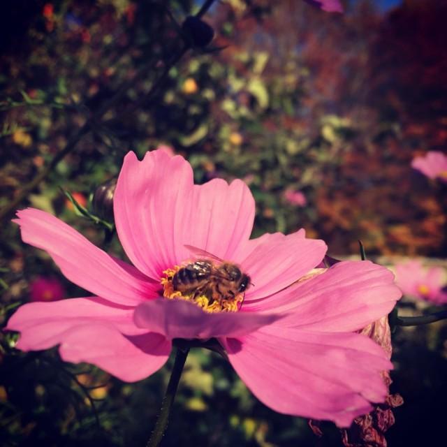 Honey bee on mallow flower