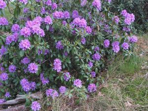 Are rhododendrons toxic to honey bees
