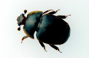 Small hive beetle, Crown copyright