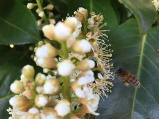 Honey bee on cherry laurel