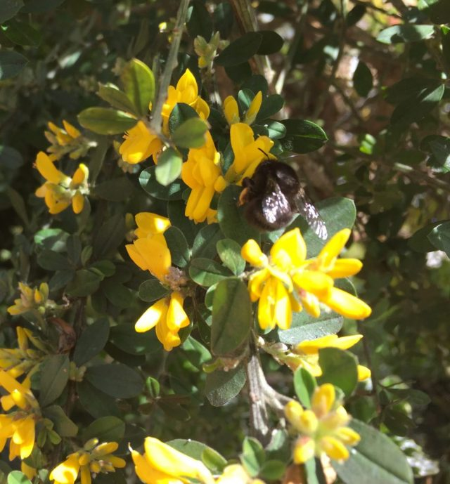 hairy footed bee on gorse