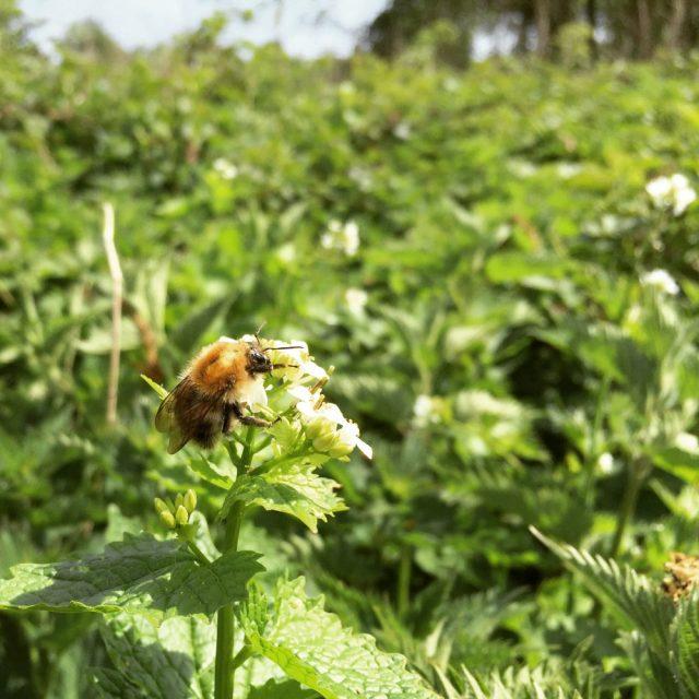 Carder bee white nettle