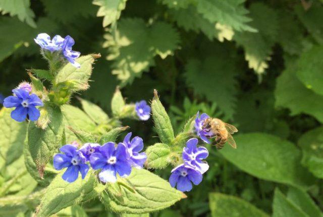honey bee on green alkanet