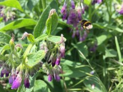 bumblebee flying to comfrey