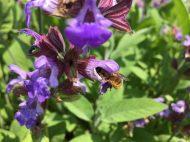 Carder bee on iris
