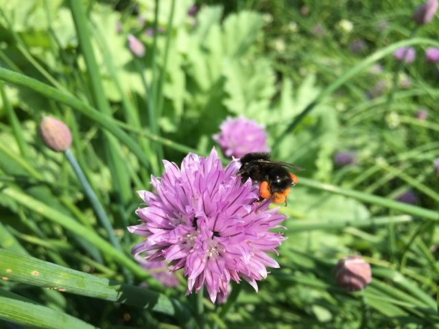 Red tailed bumblebee on chive