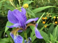 Carder bee on iris