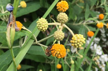 Honey bee on orange flower