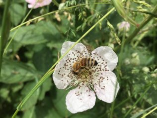 Honey bee on bramble