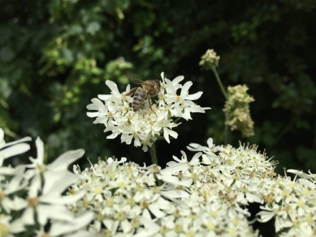 Honey bee on cow parsley
