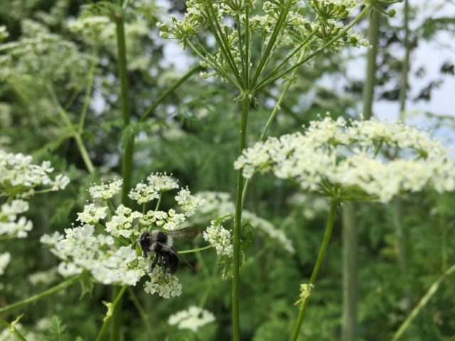 Ashy mining bee on cow parsley