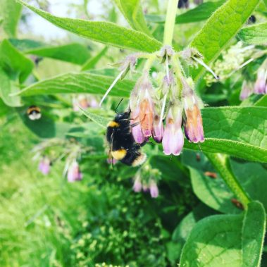 Bumble bee on comfrey