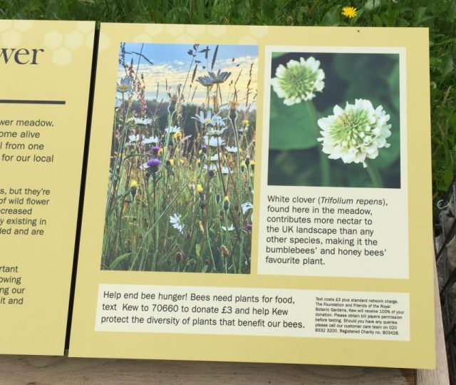 White clover nectar information