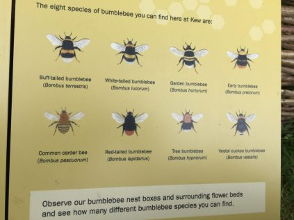 Bumblebee species at Kew