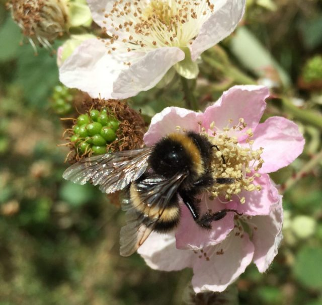 Bumble bee on bramble