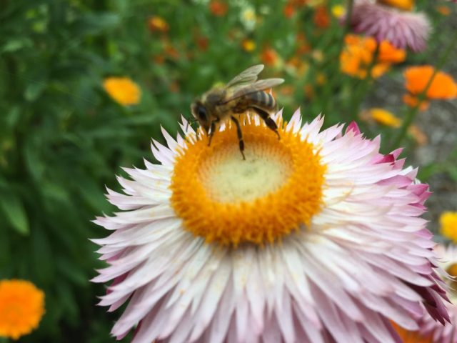 Honey bee on echinacea?