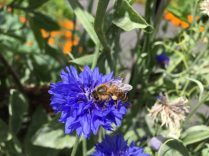 Honey bee on cornflower