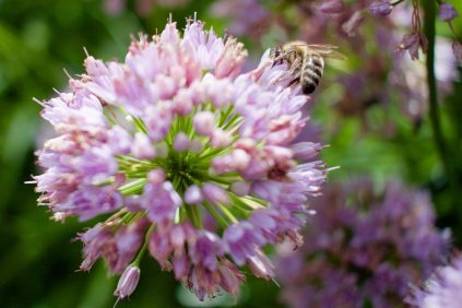 Honey bee at Kew Gardens