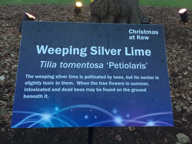 Weeping silver lime info