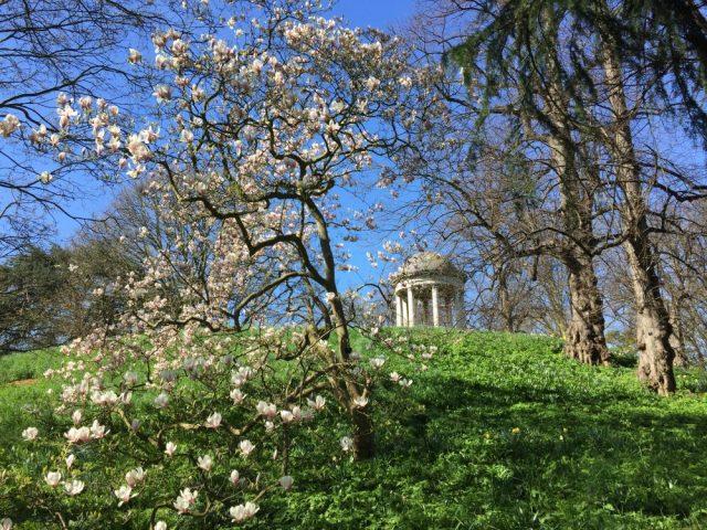 Magnolia at Kew