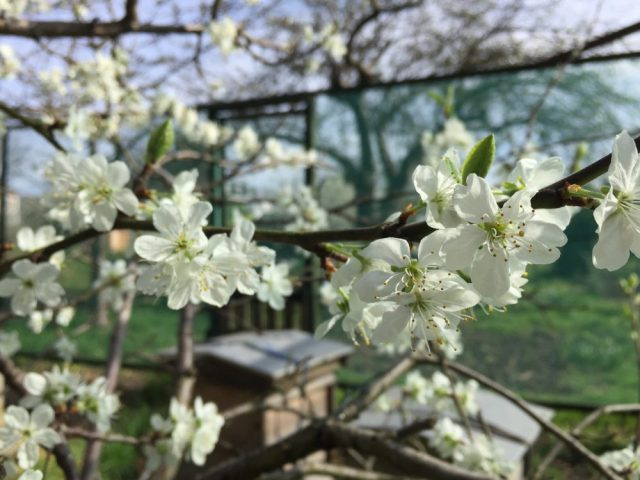 Allotment hives and blossom