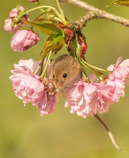 Harvest mouse in cherry blossom