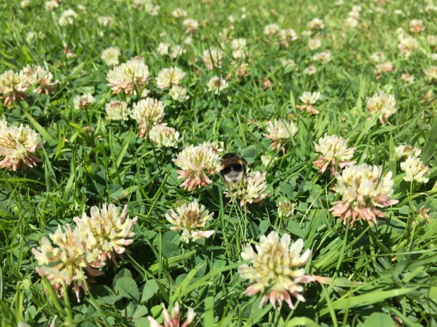 Bumble on clover