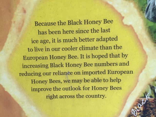 Black honey bee better adapted