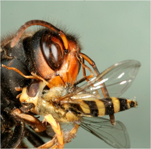 Asian hornet eating hoverfly. Photo by Jean Haxaire, Courtesy The Animal and Plant Health Agency (APHA), Crown Copyright.