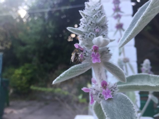 Solitary bee Anthophora on Lambs ear