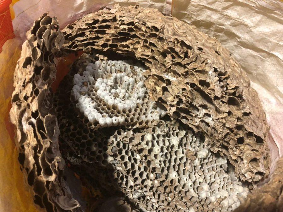Asian hornet nest 2