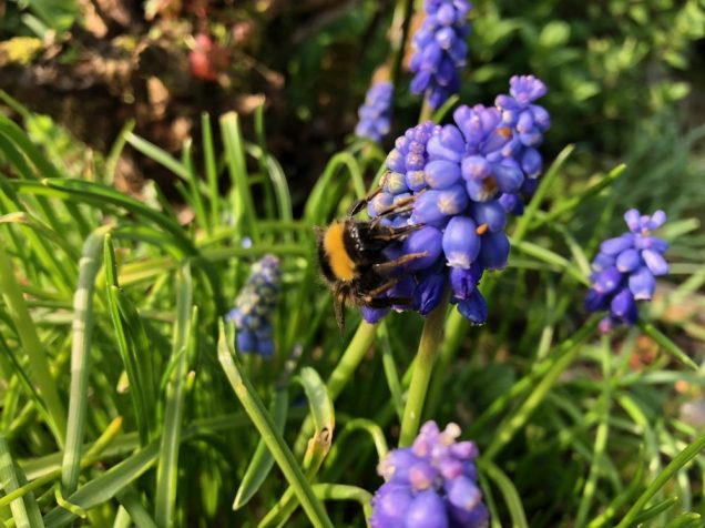 Grape hyacinth with bumblebee
