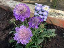 Scabious - 'Butterfly blue beauty'