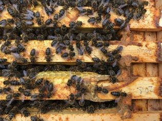 Nessa's bees - check out the propolis