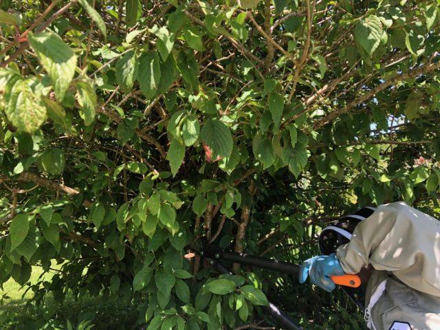 Tom cutting a branch