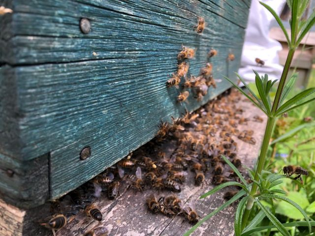 Bees at entrance