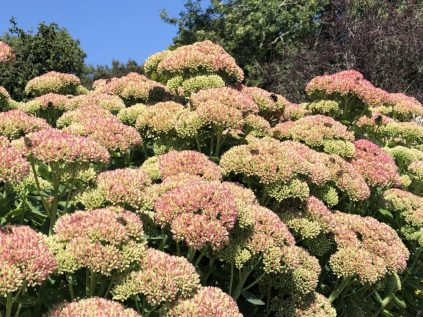Sedum covered in bees