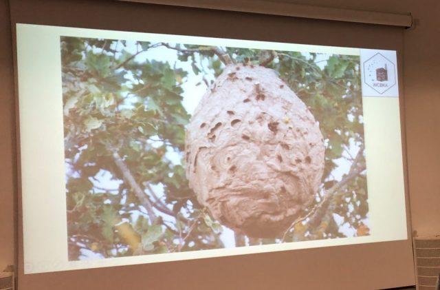 Asian hornet nest - Jersey
