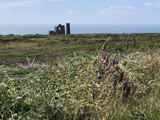 Foxgloves at Chapel Porth