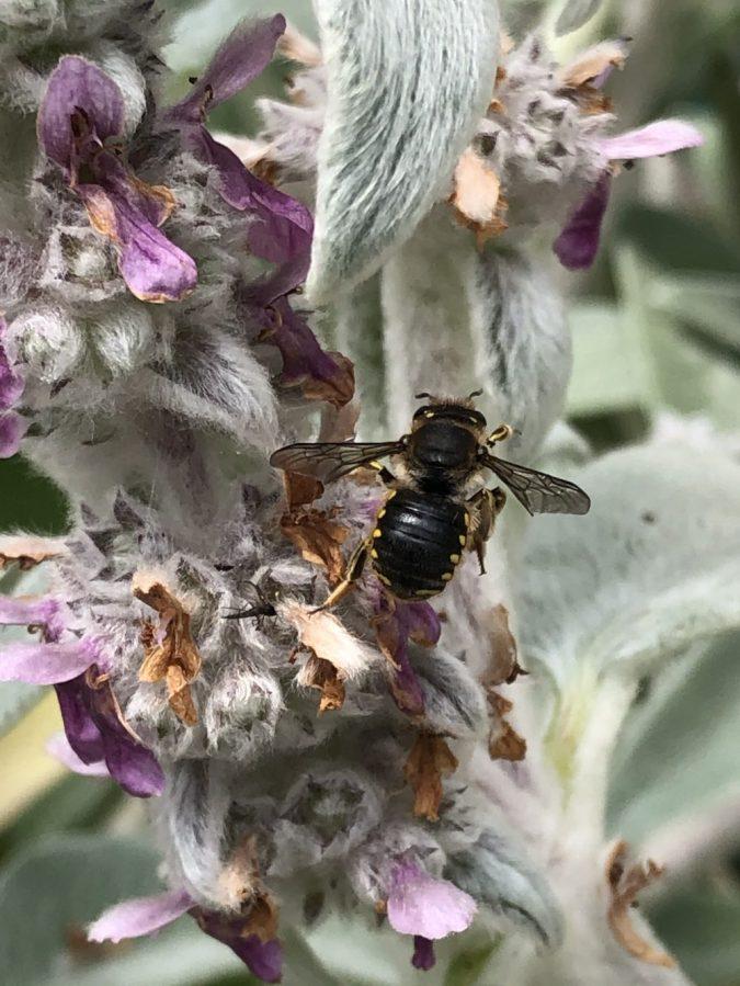 Wool carder bee on lambs ear