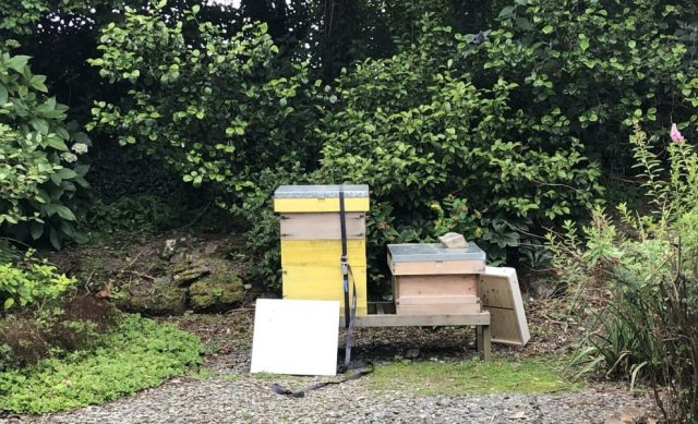 Bees after nucleus swarm method